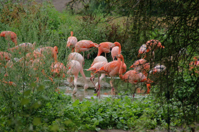 Flock of flamingos in a forest
