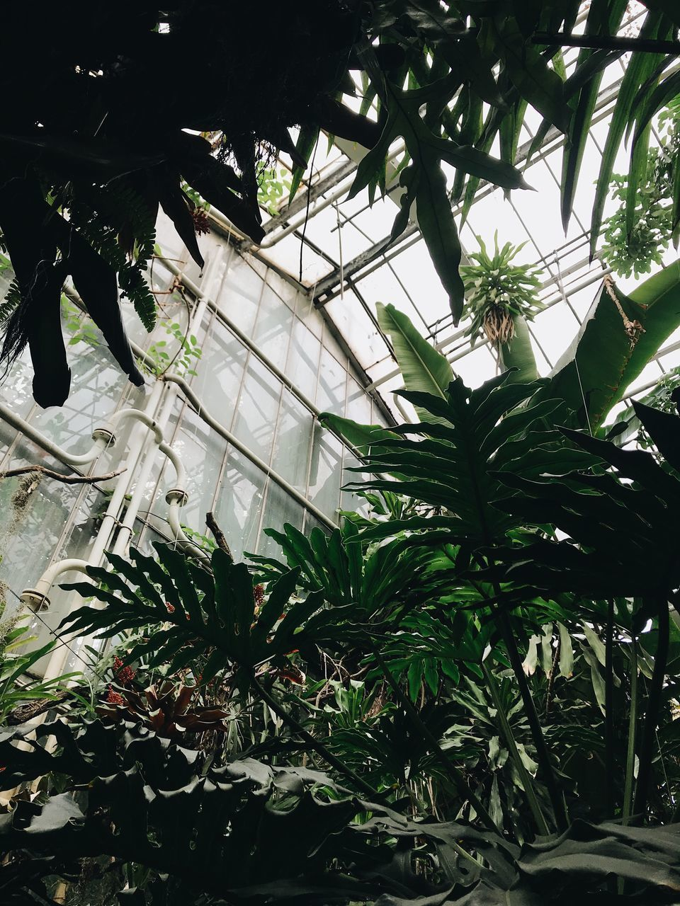 LOW ANGLE VIEW OF PALM TREE IN GREENHOUSE
