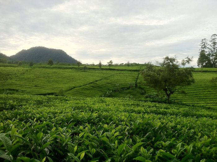 Morning from kebun teh Tree Field Nature Farm Beauty In Nature Landscape Freshness Tea Crop Green Color Growth Kebun Teh Indonesian Street (Mobile) Photographie Indonesiabagus Indonesiaindah Indonesia Banget