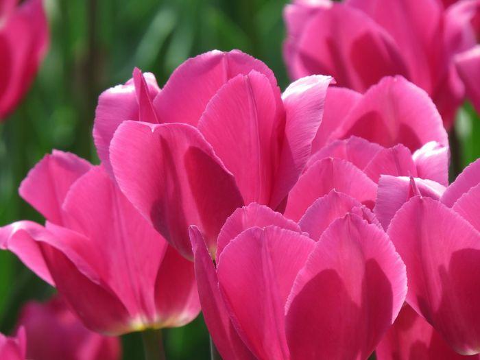 Tulip Flowering