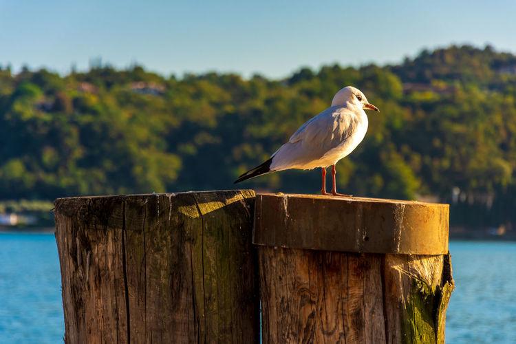 Seagull warming