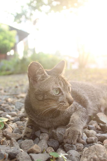 Close-up portrait of tabby cat on pebbles