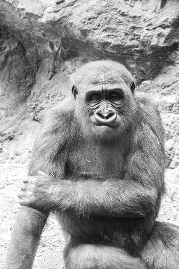 Gorilla Primate