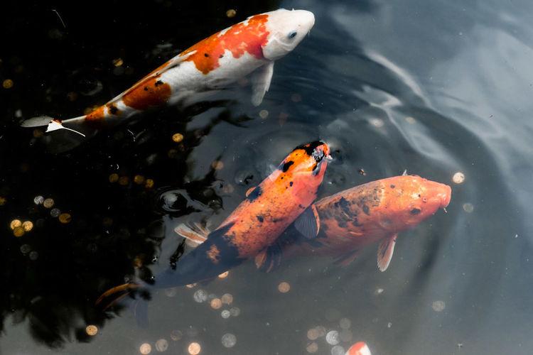 Colour Of Life Color Palette Koi Fish Pond Fish Relaxing Calm California Japanese Garden San Francisco Koi Pond Koi Carp Orange