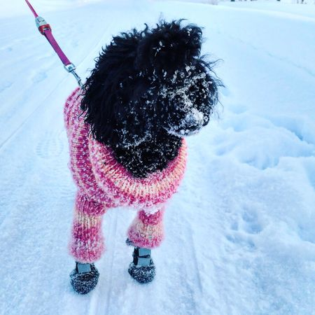 Fun in the snow Outdoors Domestic Animals Poodle Winter Dog Pets One Animal Snow Cold Temperature Domestic Animals