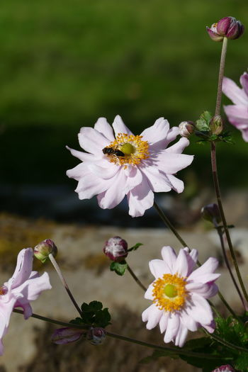 Bee on anemone