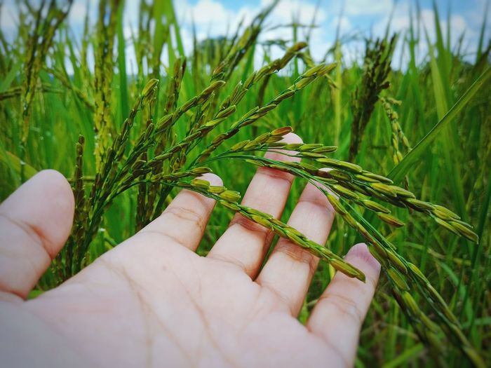 Thai sticky rice. Rice Paddy Rice Field Ricefield Rice Planting Rice Dumpling Rice Farm Rice Grain Rice Harvesting Sticky Ice Organic Food Organic Farm Organic Rice Organic Rice Paddies Human Hand Agriculture Close-up Sky Grass Plant Green Color Farmland Agricultural Field Rice Paddy
