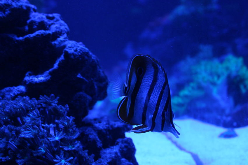Striped fish Underwater Animal Wildlife UnderSea Sea Life Sea Animals In The Wild Swimming One Animal Fish Blue Deep Water Nature Scuba Diving No People