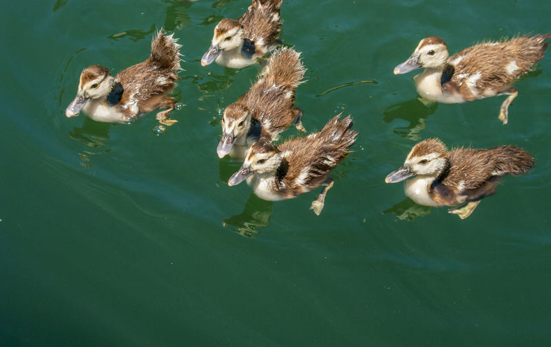High angle view of ducklings swimming in lake