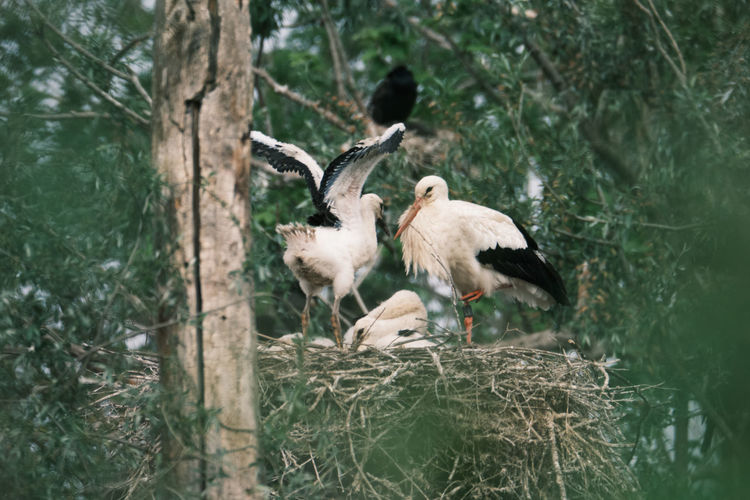 White storks perching in nest on a tree