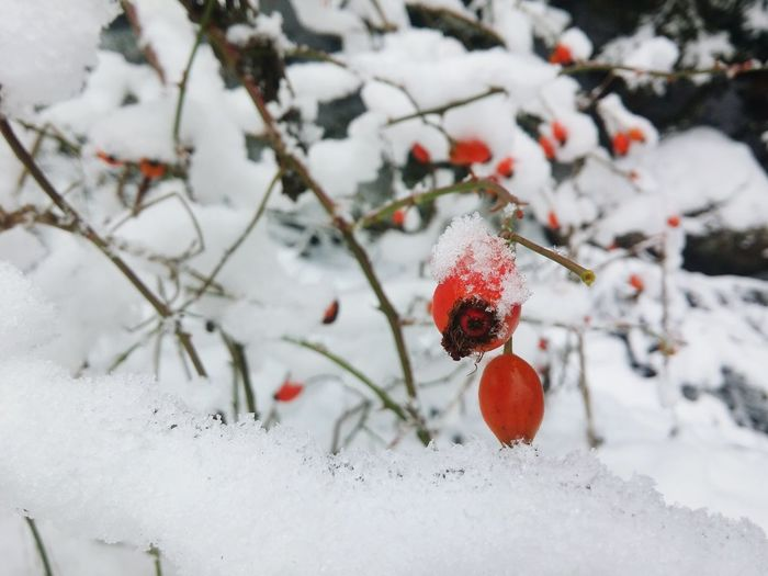 Winter Snow Cold Temperature Christmas Tree Frozen Nature Weather Branch Red Close-up Frost Christmas Tree Twig Ice Fruit Christmas Decoration Outdoors Beauty In Nature No People