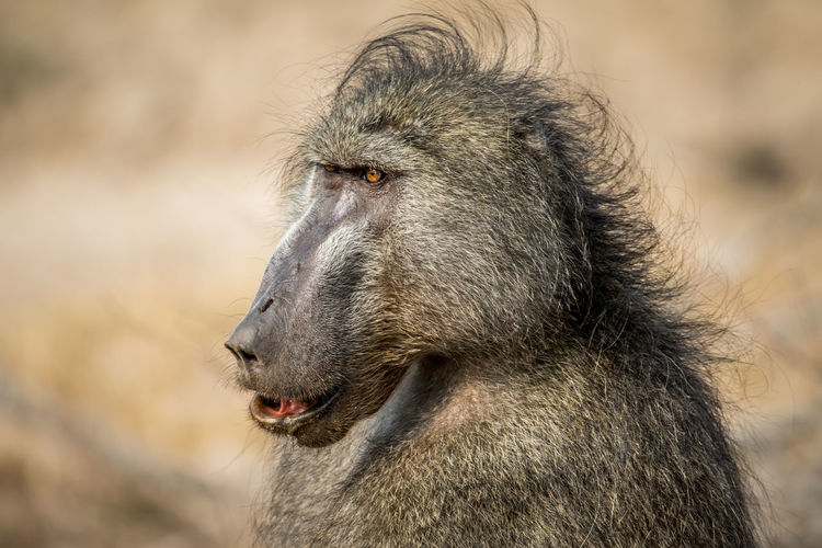 Side profile of a Chacma baboon in the Kruger National Park, South Africa. Nature Animal Animals In The Wild Wildlife Wildlife & Nature Nature Photography Africa African Safari Safari Animals Safari Beauty In Nature Travel Beautiful Nature Wildlife Photography Animals Animal Themes African Baboon Chacma Baboon Ape Mammal Kruger Park Monkey Animal Wildlife Primate