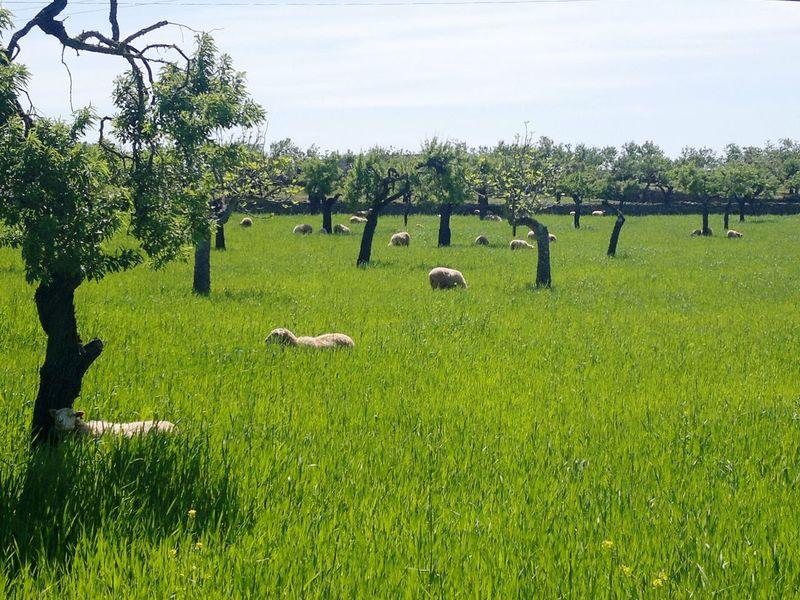 Schafe Schafe Auf Mallorca Sheep Sheeps Green Green Color Green Grass Green Nature Grün Grüne Wiese Sattes Grün Grünes Gras Showcase April