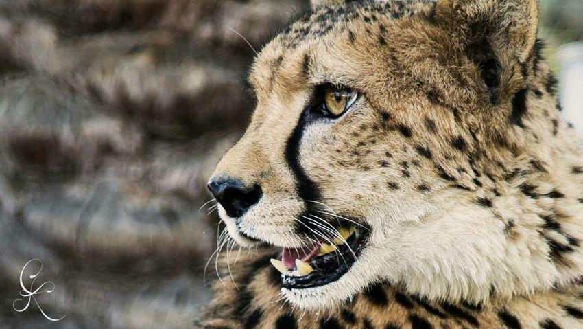 Cheetah Closeup Stare Nature Wildlife Wild EyeEm Best Edits Bigcats Predator Enjoying Life