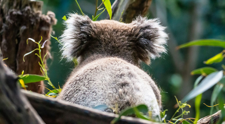 Koala Animal Themes Animal One Animal Mammal Animal Wildlife Animals In The Wild Koala Plant Nature Day Close-up No People Vertebrate Leaf Plant Part Selective Focus Focus On Foreground Portrait Animal Body Part Outdoors Animal Head  Herbivorous Jason Gines
