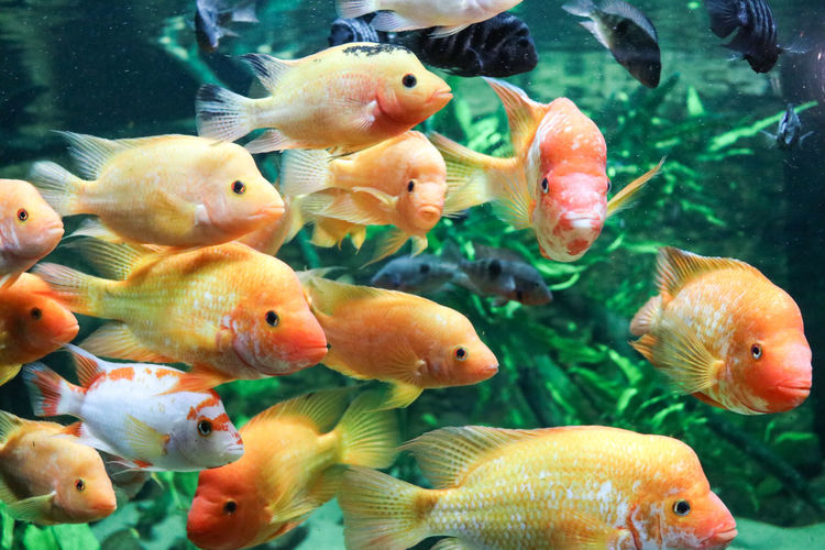 Close up of schooling yellow fish Animal Animal Themes Animal Wildlife Animals In Captivity Animals In The Wild Fish Fish Tank Glass - Material Goldfish Group Of Animals Large Group Of Animals Marine No People School Of Fish Sea Sea Life Swimming Transparent UnderSea Underwater Vertebrate Water
