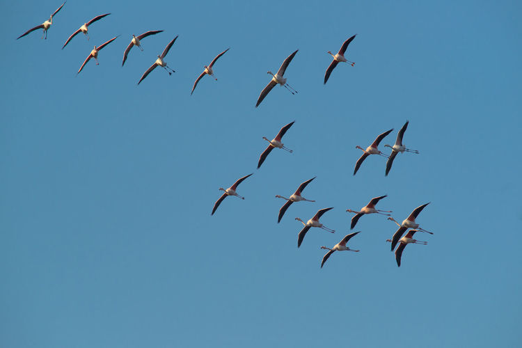 flamingos in flight Flamingo Freezing Large Group Of Animals Sky And Clouds Wildlife Photography Blue Flamingos In Flight No People 😇😇😇
