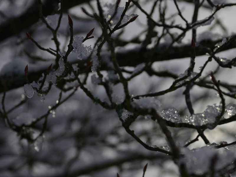 Branches Beauty In Nature Branch Close-up Cold Temperature Day Drop Focus On Foreground Growth Ice Nature No People Outdoors Plant Rain RainDrop Selective Focus Snow Snow Covered Tranquility Tree Water Winter