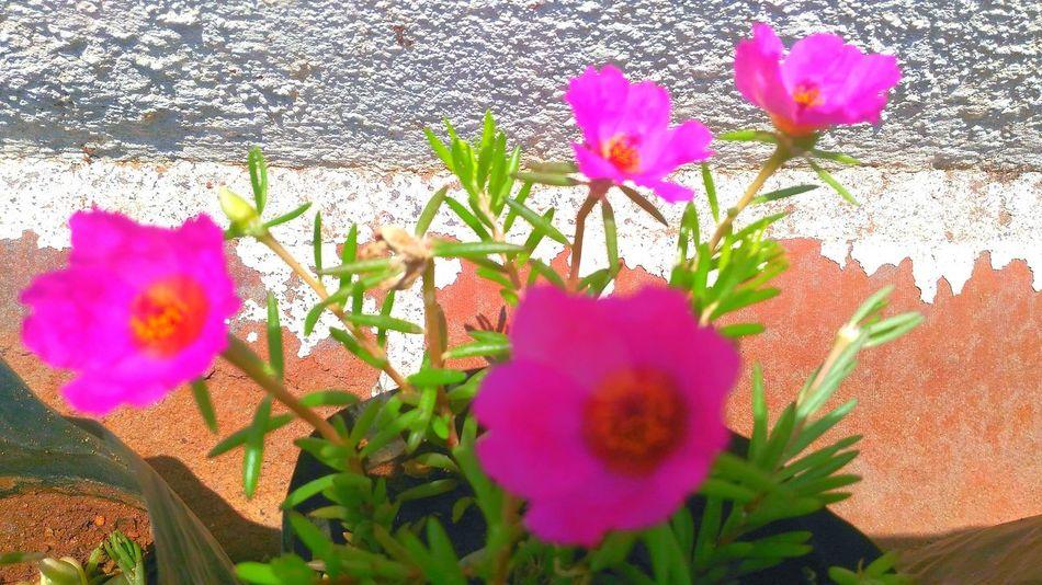 Summer Flowers Mossrose Garden