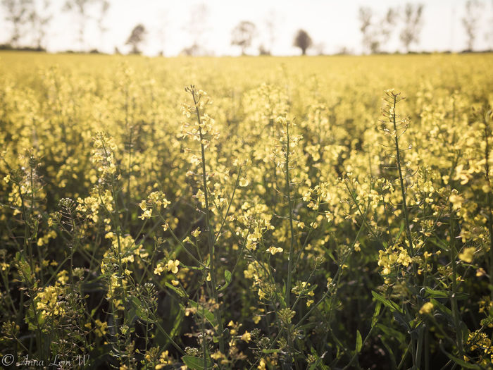 Rapeseed field. Field Land Plant Growth Beauty In Nature Tranquility Flower Landscape Agriculture Flowering Plant Rural Scene Day Nature Environment Focus On Foreground Freshness Tranquil Scene Yellow Farm No People Outdoors Springtime Plantation EyeEm Best Shots EyeEm Nature Lover
