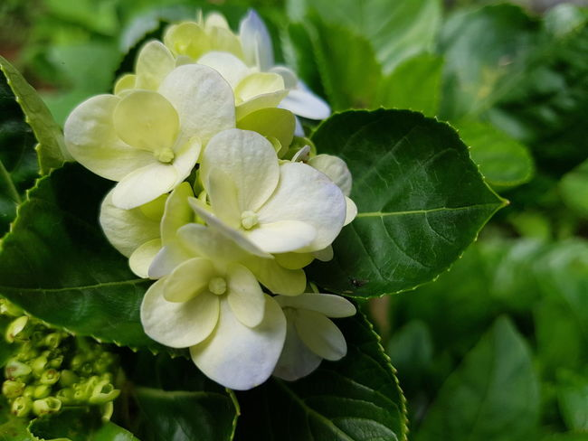 Close up hydrengea flowers. Fresh Growth Flower Head Flower Leaf Petal Close-up Plant Green Color Hydrangea Blossom In Bloom Plant Life Flowering Plant Botany