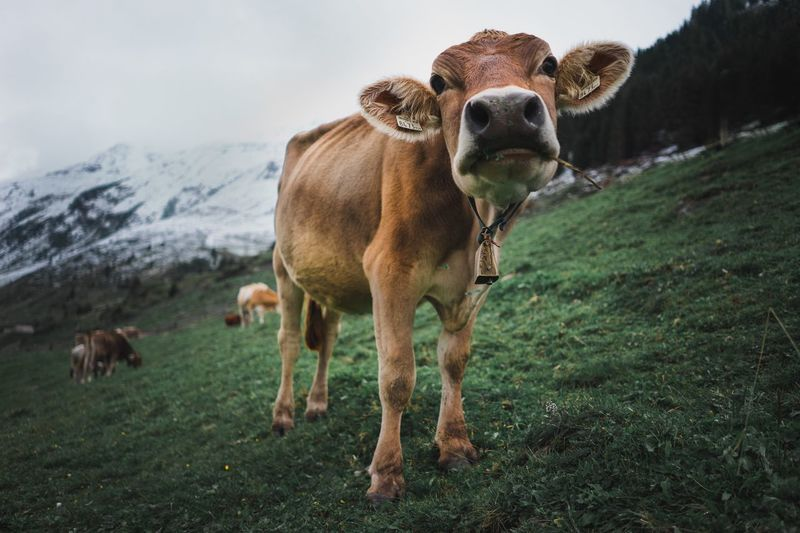 Cow in the mountains Live Authentic Green Hello Natural Mountains Mammal Animal Themes Domestic Animals Livestock Cow Field Cattle Standing Looking At Camera Nature No People Day Grass Outdoors Portrait Mountain Sky
