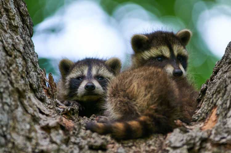 Four Eyes and a Tail Close-up Nature Racoon Racoon Eyes Selective Focus Tree Trunk Wildlife Young Animal