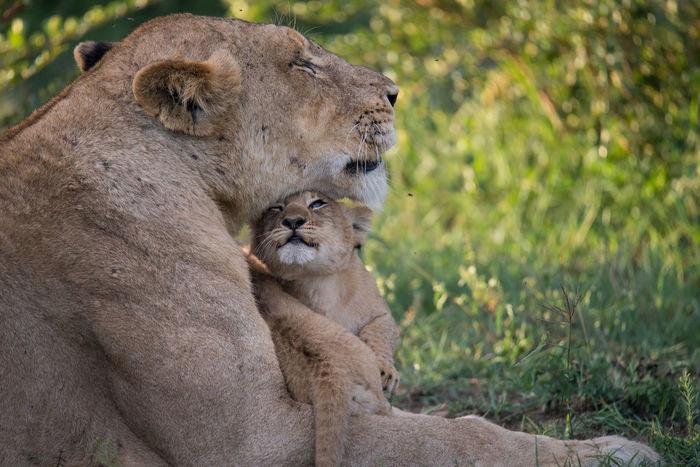 Lion Love Africa Gamedrives Lion Safari Wildlife