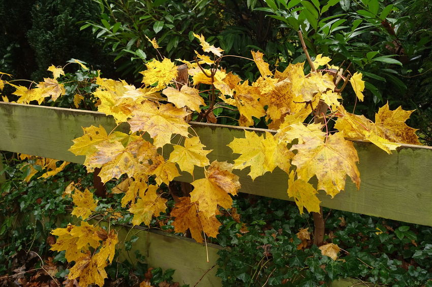 Autumn Beauty In Nature Coloured Leafs Coloured Leaves Day Fence Nature No People Outdoors Yellow