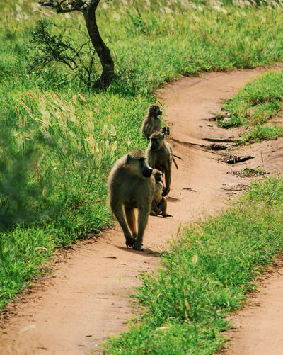 A group of baboons on a dirt road, taita hills wildlife sanctuary, voi, kenya