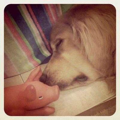 Sleep with a pig Goldenretriever Petstagram Hoykong Dog