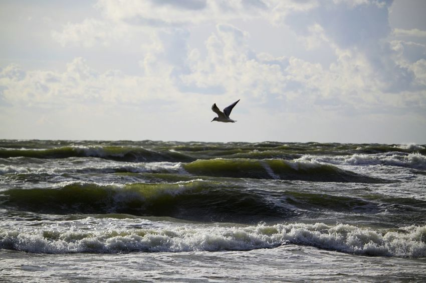 bird Bird Water Flying Sea Beach Silhouette Sky Seagull Wave Horizon Over Water Shore Seascape Sea Bird