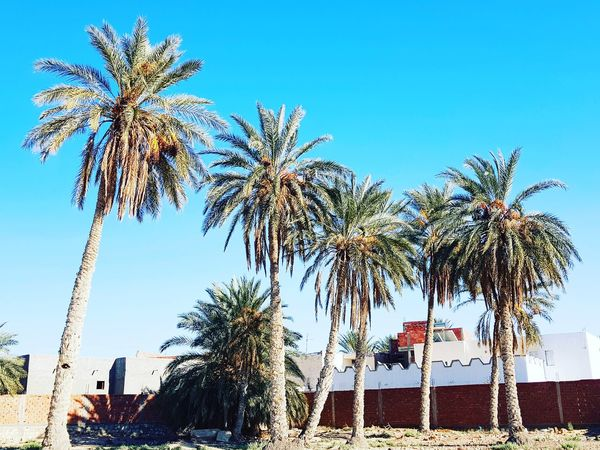 Palm Tree Palm Palm Leaf Palmtrees Plams🌴 Tunisia Tunisia_with_love Tunisia❤ Tunisia <3 Tunisie Tunisie Terre D'accueil El Faouar Tunisia El Faouar Tunisie Kebili Kebilli Tunisia❤ Adventures In The City