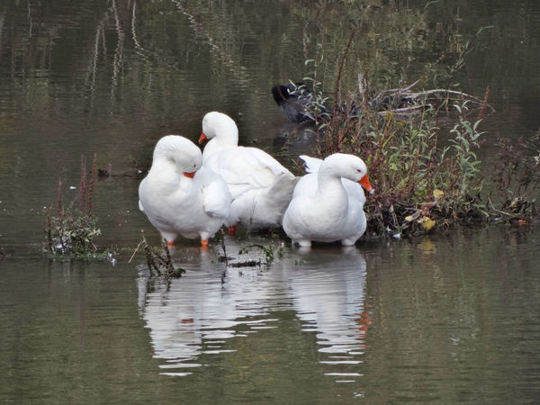 Ducks bathing in the Serchio River Animal Themes Animal Wildlife Animals In The Wild Beauty In Nature Bird Ducks Ducks Along The River Ducks Bathing In The River Ducks In Water Group Of Ducks Nature Outdoors Reflection Reflection In The Water Swimming Water