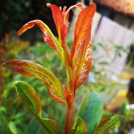 PomegranateTree PomegranateLeaf Leaves Leaf Orange Red Green Macro Closeup Pomegranate Plant Garden