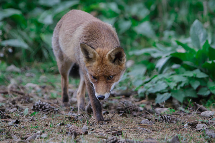 Today`s walk Animals In The Wild Autumn Fox Foxes Nature On Your Doorstep Nature Photography Naturelovers Walking Around Wildlife Wildlife & Nature Wldlife