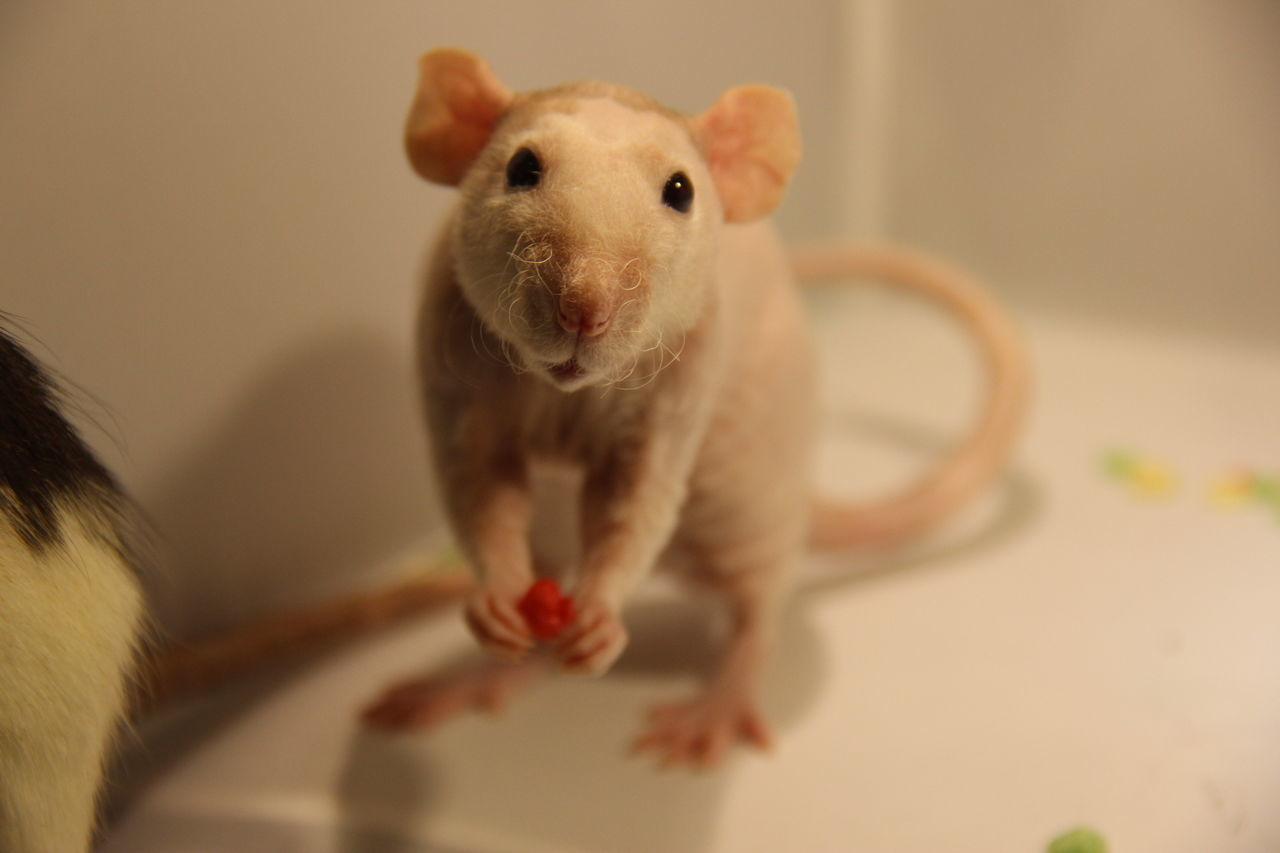 Portrait Of Mouse