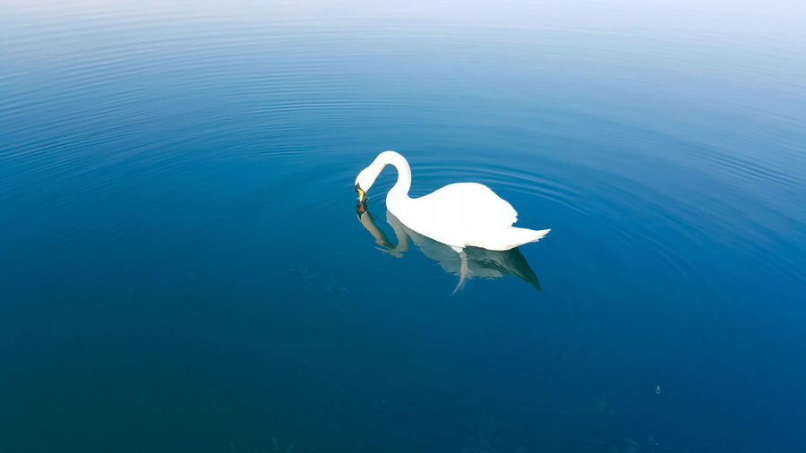 Water Nature Tranquility Beauty In Nature Outdoors Day No People Swans ❤ WeekOnEyeEm EyeEmNewHere Swan Animal Themes Water Bird LakeOne Animal Bird Animals In The Wild