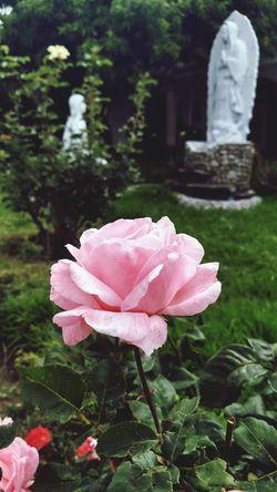 Flower Rose - Flower Fé Religion