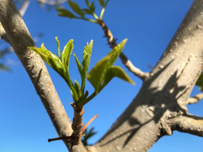 Close up of a few new leaves and two branches New Growth Spring Growth Nature Day Plant Blue Tree Outdoors Sunlight Green Color Clear Sky Branch Sky Close-up No People Beauty In Nature Low Angle View