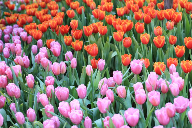 sweet tulip flowers background Flower Flowering Plant Plant Tulip Beauty In Nature Freshness Growth Vulnerability  Petal Fragility Full Frame Backgrounds Flower Head Close-up Abundance Land Inflorescence Nature No People Field Pink Color Springtime Flowerbed Outdoors Gardening Purple Softness