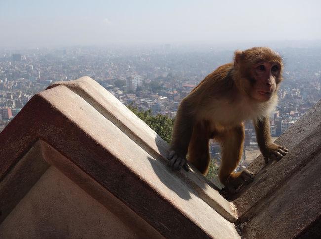 #cityview #kathmandu #monkey #nepal #travel #view Architecture City Cityscape Monkey No People One Animal
