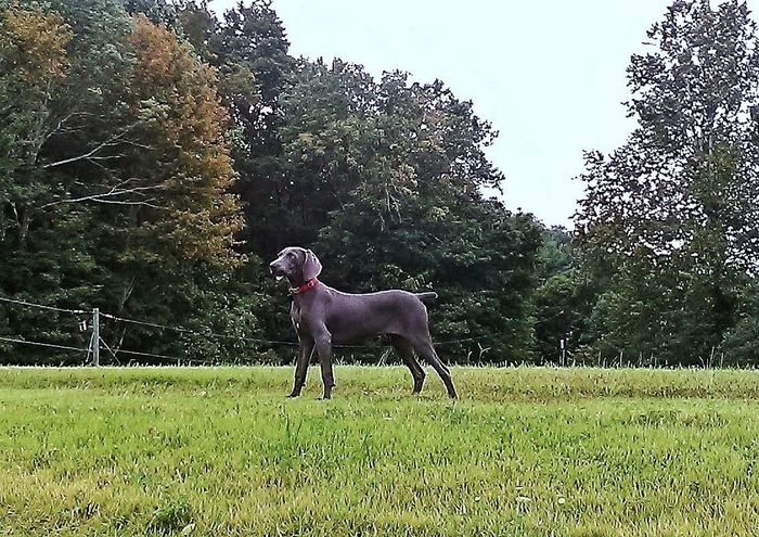 Domestic Animals Dog Animal Themes Grass Mammal One Animal Outdoors Pets Tree Day Nature Full Length No People Growth Sky Hometown Love Autumn In Indiana EyeEmNewHere The Week On EyeEm Pet Portraits Weimaranerpuppy German Breed Gun Dog Photography WeimaranerModel 5 Months Old