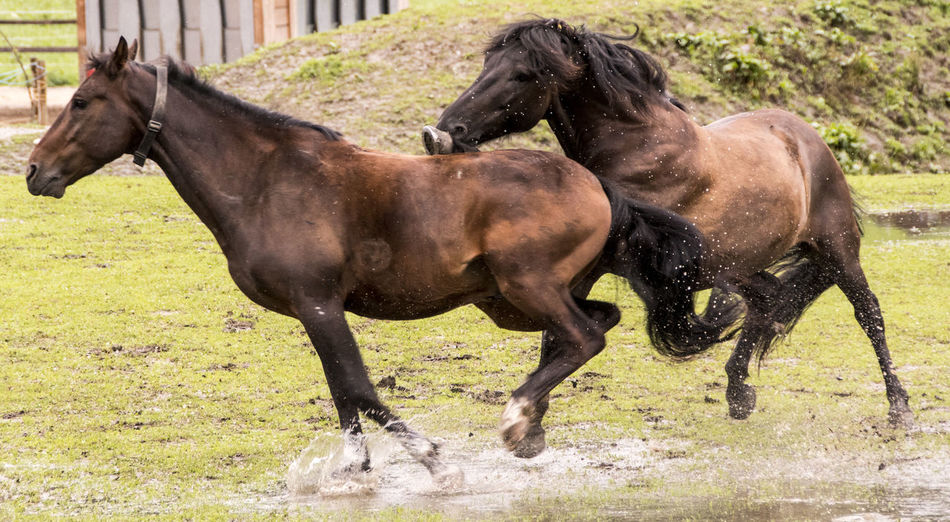 two wild stallions fight on the way Mammal Domestic Animals Domestic Pets Vertebrate Day Animal Wildlife No People Stallions Wildlife Figthing Horses Horseshoe HORSE TEETH Biting Meadow Animal Themes Animal Livestock Horse Group Of Animals Two Animals Grass Plant Field Nature Land Running Herbivorous Outdoors Animal Family Profile View