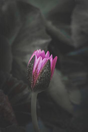 Dark Lobe Lotus