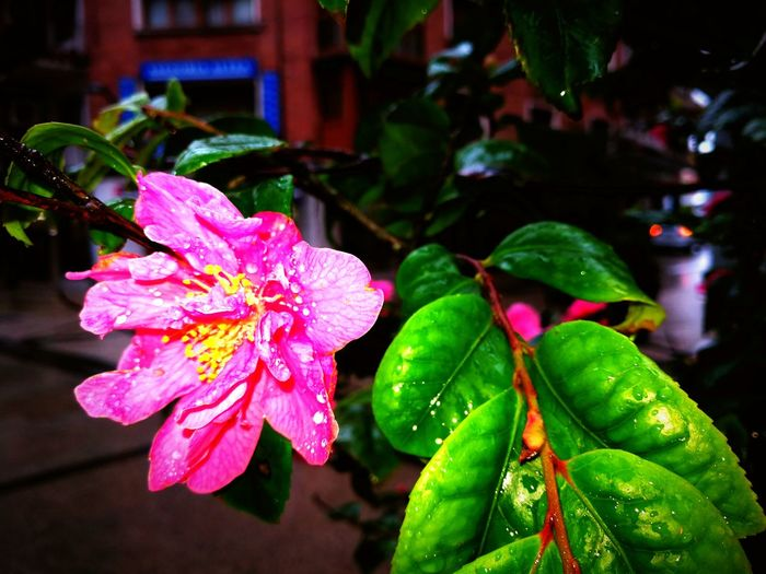 Flower Pink Color Nature Freshness Beauty In Nature Wet Rainy Days Petal Capturedonmate9 Flower Head