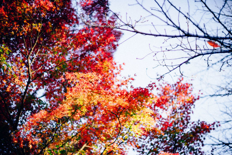Japanese Autumn Leaves Tree Plant Beauty In Nature Nature No People Day Low Angle View Growth Outdoors Tranquility Branch Plant Part Leaf Autmn Colors Autmn Leaf Autumn Leaves Red Leaves Japan Photography Natural View Looking Up Trees