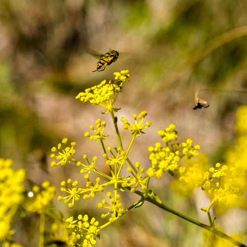 flying !!!! Animal Themes Animal Wildlife Beauty In Nature Bee Bees Close-up Flower Flying Focus On Foreground Honey Insect Insect Photography Insects  Insects Collection Macro Macro Beauty Macro Photography Macro_collection Nature Plant Selective Focus Spring Summer Wildlife Yellow