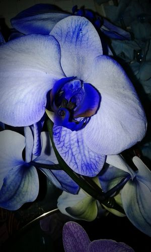 Blue Beauty Beauty In Nature Orchid Orchid Flower Orchid Blossoms Orchids In Bloom Orchidea Dyed Orchid Close-up No People Blue