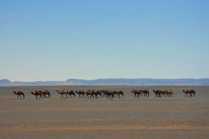 Camello Camels Camel Desert Beauty Deserts Around The World Morocco Maroc Marruecos Desert Dunescape Desierto Desert Landscape Arena Africa African Beauty